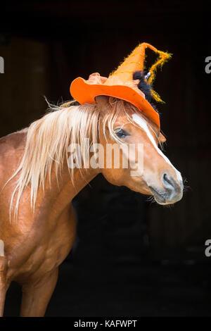 Arabian Horse. Juvenile chestnut stallion wearing witches hat. Austria - Stock Photo