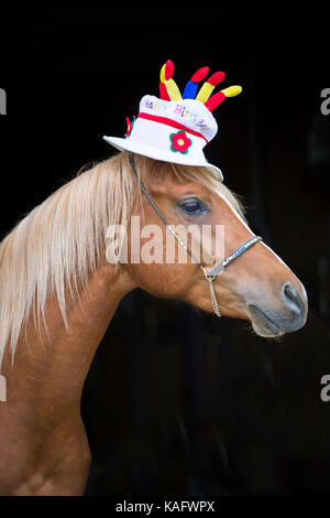 Arabian Horse. Juvenile chestnut stallion wearing a hat, shaped like a Birthday cake. Austria - Stock Photo