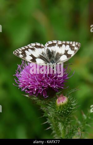 Marbled White (Melanargia galathea) on a flower of a thistle - Stock Photo