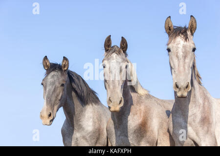 Pure Spanish Horse, Andalusian. Portrait of three juvenile stallions on a pasture. Spain - Stock Photo