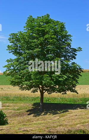 Horse Chestnut (Aesculus hippocastanum), young tree in summer - Stock Photo