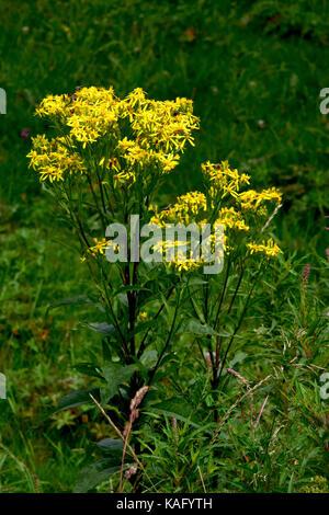 Common Ragwort, Jacobea, Staggerwort (Senecio jacobaea) flowering - Stock Photo