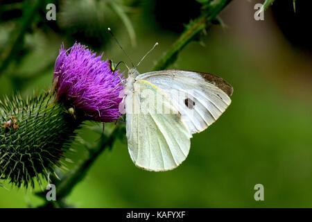 Large White (Pieris rapae), sucking nectar from flowering Thistle (Cirsium sp.). - Stock Photo