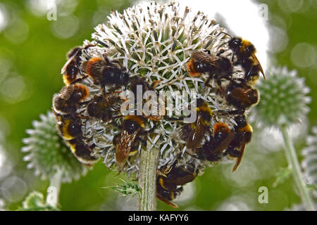 Red-shanked bumblebee (Megabombus ruderarius), many of them drinking nectar from a Globe Thistle flower (Echinops - Stock Photo