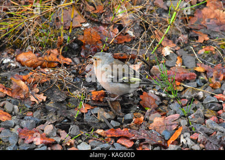 Chaffinch sitting at the side of a river bed - Stock Photo