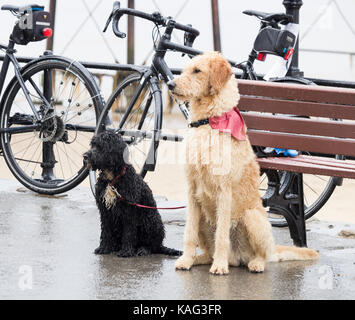 Wet dogs waiting for owner outside cafe in heavy rain. UK - Stock Photo