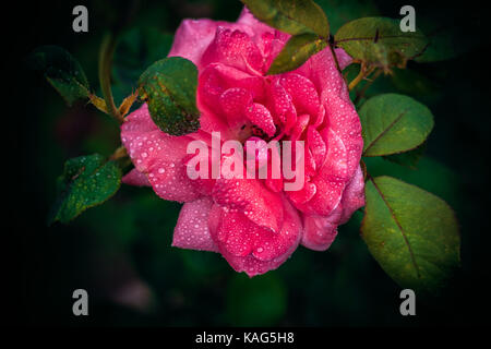 Water Droplets on Pink Rose - Stock Photo