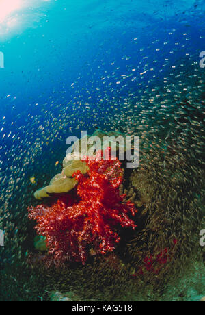 Thailand. Similan Islands. Underwater view of small fishes encircling soft corals. - Stock Photo