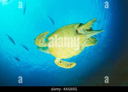 Egypt. Red Sea. View of underside of Hawksbill Turtle swimming underwater. - Stock Photo