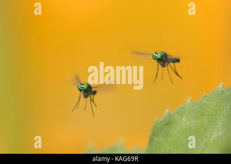 long-legged flie, Condylostylus genus in flight - Stock Photo