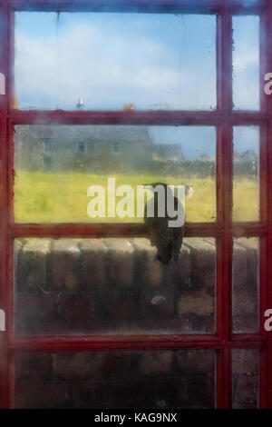 Starling trapped inside telephone box looking out through window - Stock Photo