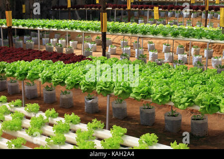 Green cultivated fresh cabbage growing in greenhouse - Stock Photo