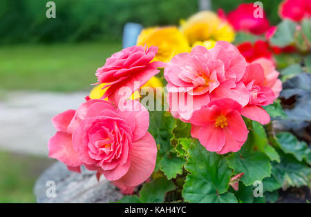 Multicolored balsam flowers. Stock Photo