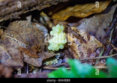 Snails eggs, escargot caviar or escargot pearls in the woods, snail caviar, autumn leaves. Poland - Stock Photo