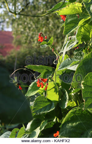 Flowering runner beans (Phaseolus coccineus) grow high on a wall. - Stock Photo
