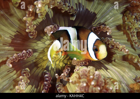 Clownfish (Amphiprioninae) in Sea anemone (Actiniaria), Indo-Pacific, Philippines - Stock Photo