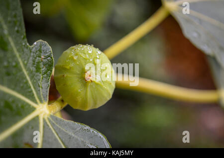 A fig on a branch after rain - Stock Photo