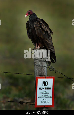 Turkey Vulture Sitting on a Fence Post with a No Hunting Sign - Stock Photo