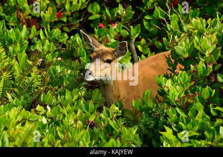 A wild female Black-tailed deer  (Odocoileus hemionus columbianus);foraging through the heavy vegetation along the - Stock Photo