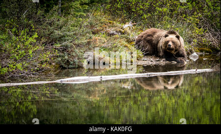 Male grizzly Bear (Ursus Arctos ssp.) resting at a pond close to Spruce Lake in the South Chilcotin Mountain Park, - Stock Photo