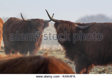 Highland cattles with long horns on a snowy field in winter. - Stock Photo
