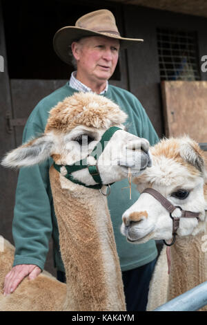 Vicugna pacos. Alpacas and their owner in a pen at Malvern autumn show, Worcestershire, UK
