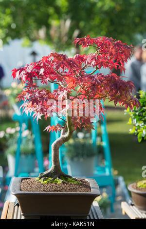 Acer Palmatum 'Deshojo'. Bonsai Japanese maple tree in morning light at the RHS Wisley autumn flower show,  Surrey, - Stock Photo