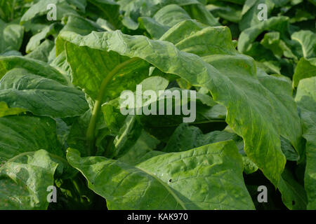 leaves of tobacco plants in a field. North Carolina tobacco crop. - Stock Photo