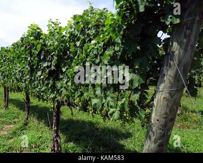 A line of grape vines showing hanging fruit close to harvest time - Stock Photo