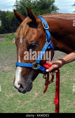 Sorrel quarter horse with blue halter is held by owner's hand.  Red lead rope is attached to halter. - Stock Photo