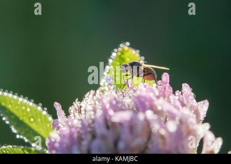 tachinid fly - Stock Photo