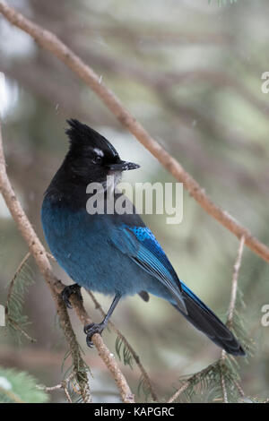 Steller's jay / Diademhaeher ( Cyanocitta stelleri ) perched in a conifer tree, watching back over its shoulder, - Stock Photo
