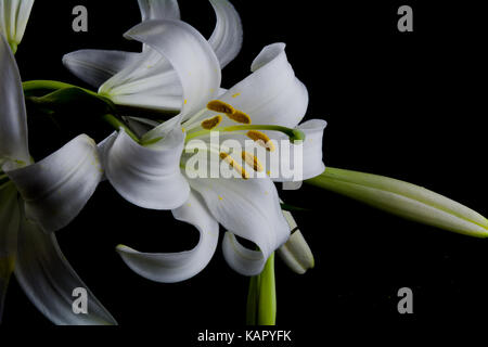 Flowers and buds of lilies on a black background - Stock Photo