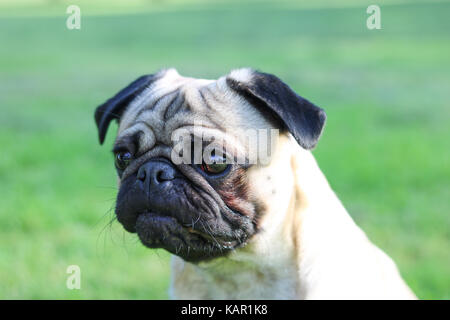One year old fawn male Pug - Stock Photo