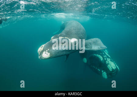 Playful southern right whale calf comes to look at the camera with it's mother below,  Valdes Peninsula, Patagonia, - Stock Photo
