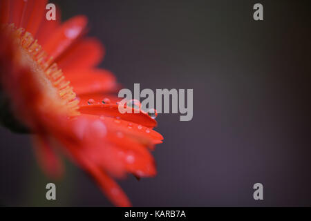 macro photography image of red orange gerbera daisy flower close up with rain drops on the petals and reflections - Stock Photo
