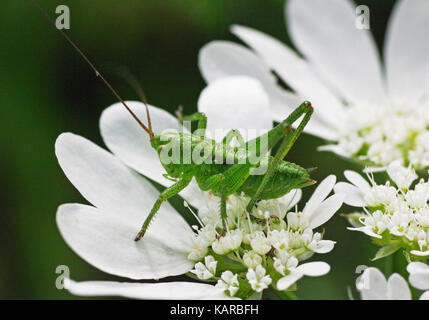 a grasshopper is sitting on the wildflower Orlaya  grandiflora, the White laceflower - Stock Photo