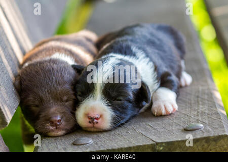 Two little puppy dogs sleeping on wooden bench - Stock Photo