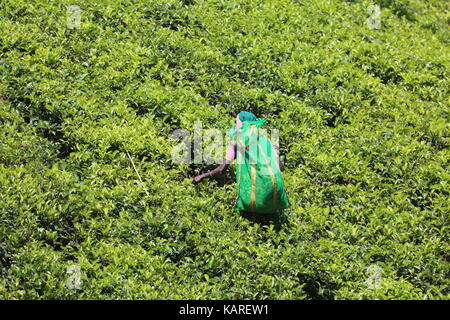 Tea picker in the highlands of Sri Lanka ---Teepflückerin im Hochland von Sri Lanka - Stock Photo