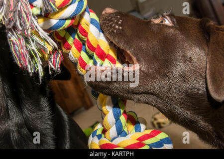 Closeup view of a chocolate Labrador puppy playing tug with a colorful rope toy - Stock Photo
