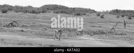 A tower (group) of Masai giraffes - Masai Mara National Reserve - Kenya - Stock Photo