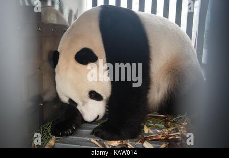 Jakarta, Indonesia. 28th Sep, 2017. Male giant panda 'Cai Tao' arrives at the airport in Jakarta, Indonesia, Sept. - Stock Photo