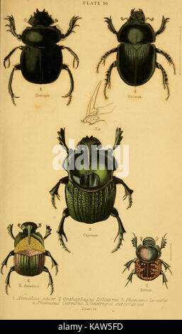 The natural history of beetles (Plate 10) (6008008209) - Stock Photo