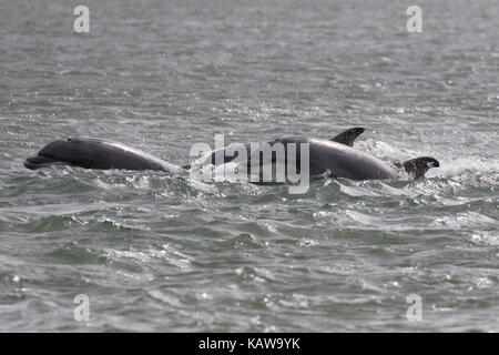 Bottlenose dolphins (Tursiops truncatus) in the Moray Firth, Chanonry Point, Black Isle, Scotland, UK, Europe - Stock Photo
