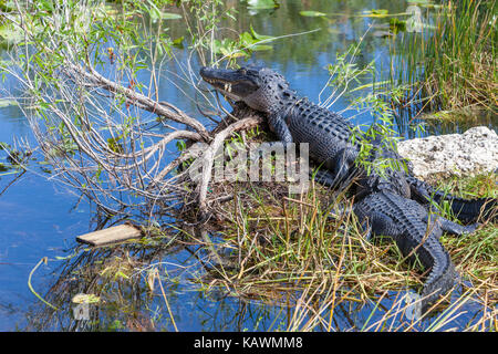 Everglades National Park, Florida.  American Alligator Resting in the Mid-day Sun. - Stock Photo