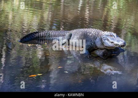 Alligator, Homosassa Springs State Park, Florida.  American Alligator. - Stock Photo