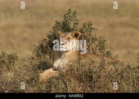 Female Lioness (panthera Leo) resting on a mound watching the savanna in the Masai Mara, Kenya - Stock Photo