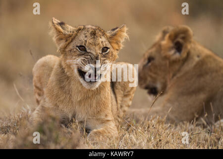 Lion cub lying down and snarling with mother lioness behind in Masai Mara, Kenya - Stock Photo