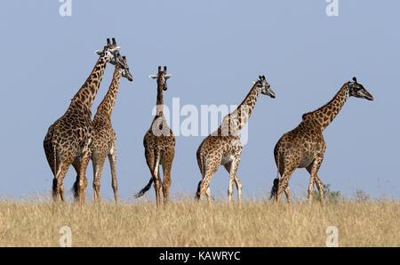 Tower of Giraffes (Giraffa) walking over the savanna in the Masai Mara, Kenya - Stock Photo