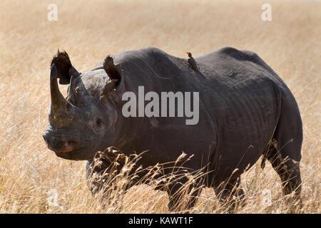 Black Rhino (Diceros Bicornis) with Oxpecker on back (buphagus africana africanus) in the Masai Mara, Kenya - Stock Photo